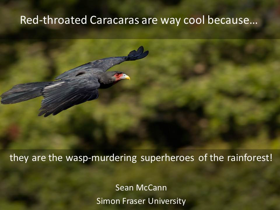 Red-throated Caracaras are way cool because